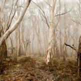 nature-white-bark-trees-fog