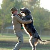Aptly known as the gentle giant, the Irish wolfhound is a soft-natured