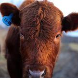 altf-cow-1308-03