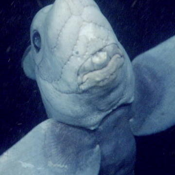 The Haunting Ghost Shark