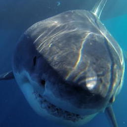 One of the Biggest Great Whites Ever Filmed