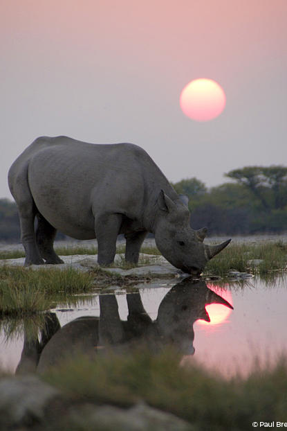 A black rhino arrives early at a secret waterhole to join a nighttime gathering of sometimes 15 or so other rhinos. The Africa crew captured this unique behavior for the first, but possibly the last time – as poaching of black rhino has risen to a shocking level in the last five years.