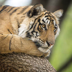10 Ways Tigers Are Used as Symbols | Animal Planet