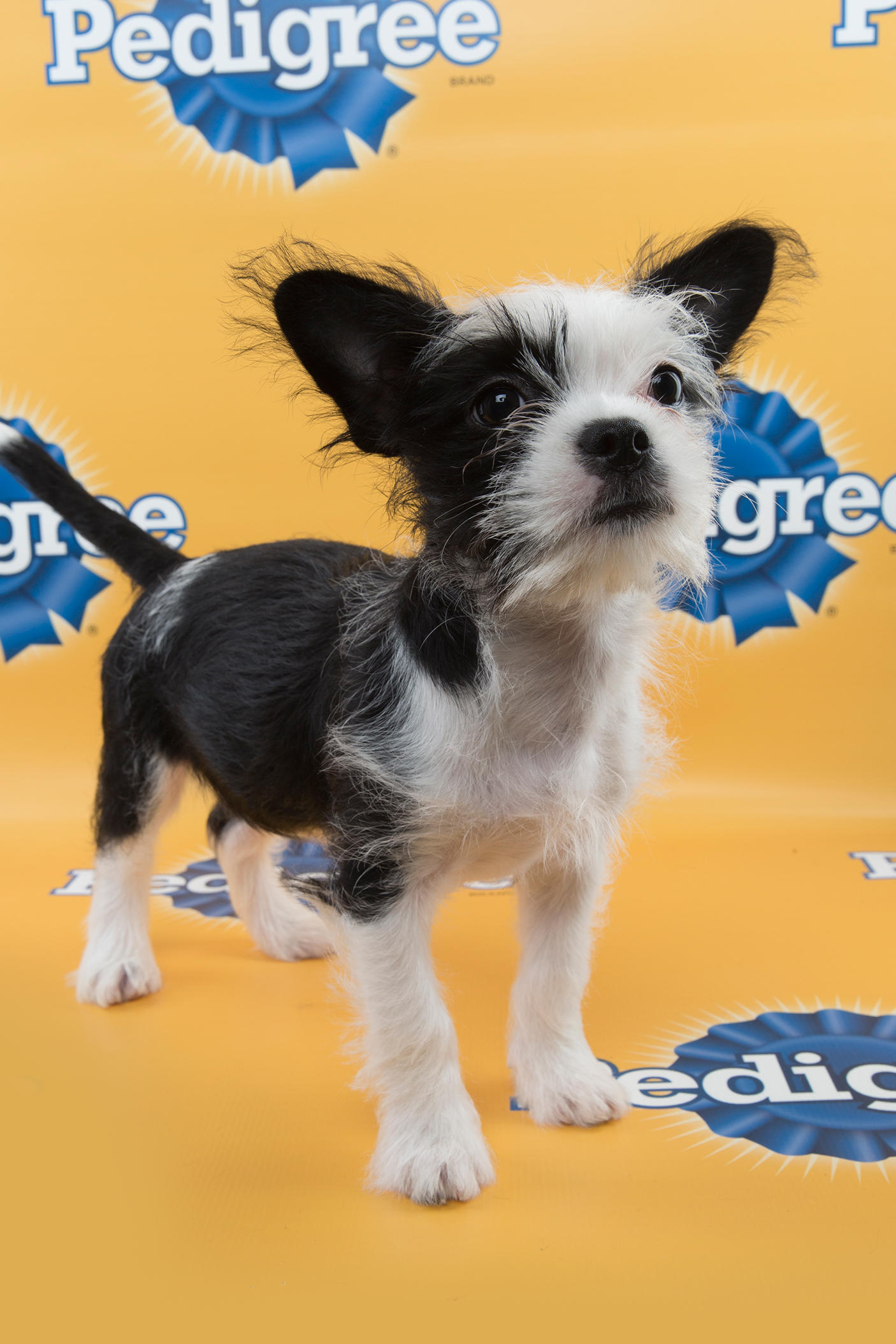 Papper Puppy Bowl 11, puppy bowl xi, puppy bowl, starting lineup, lineup, puppy, puppies