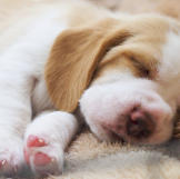 Beagle puppy sleep