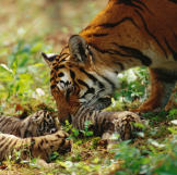 Mama Plays with Cubs
