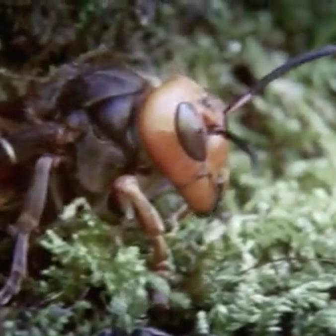 Giant Killer Hornet Populations Exploding Faster Than Ever