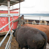 Mark pens in the bulls as they get ready to be offloaded and led ashor