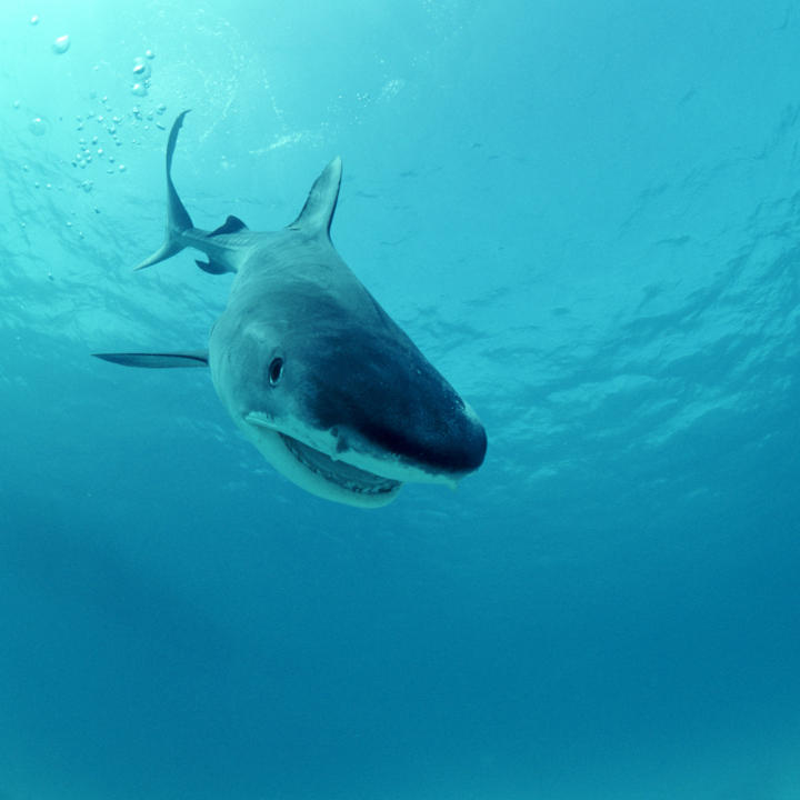 shark games shark week discovery hunt like a tiger shark quiz