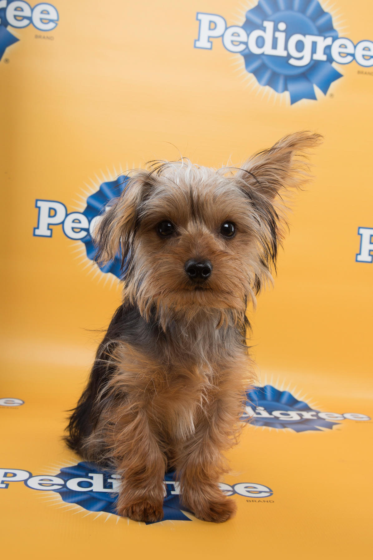 Enzo Puppy Bowl 11, puppy bowl xi, puppy bowl, starting lineup, lineup, puppy, puppies