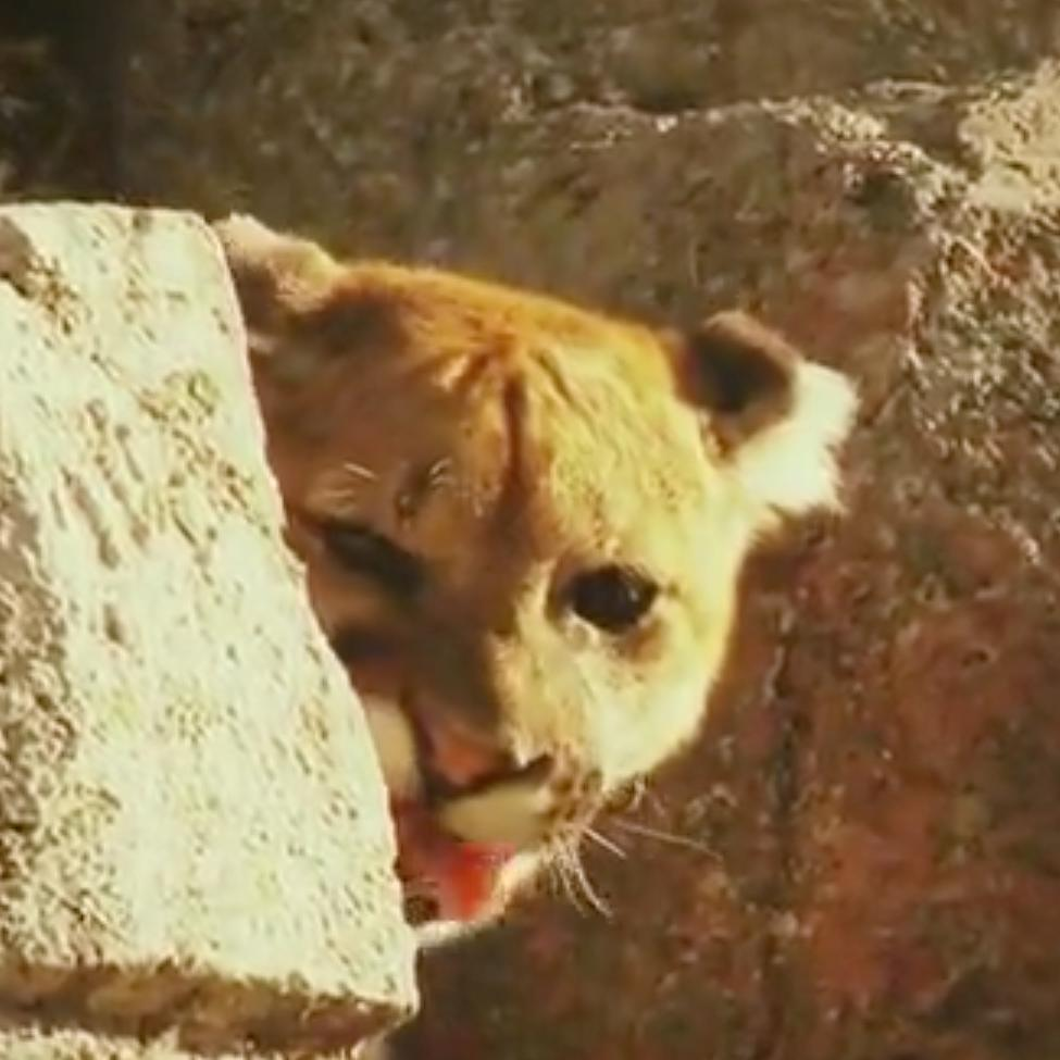 One Hungry Mountain Lion Ferociously Attacks Lone Hiker