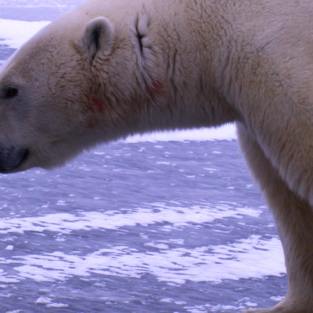 Churchill, Canada - Where Polar Bears Hunt Humans