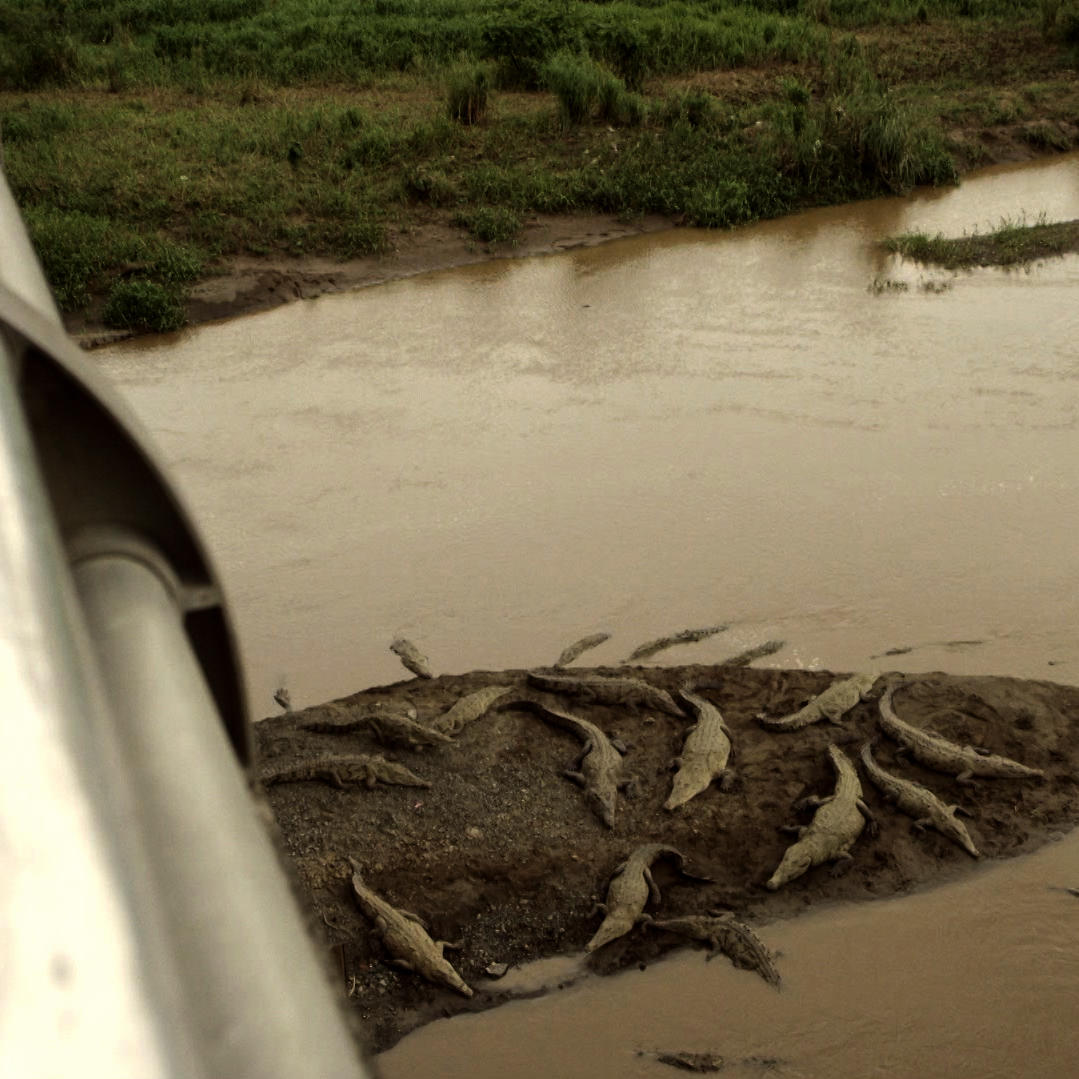 Costa Rica's 'Croc Bridge' Does Not Disappoint