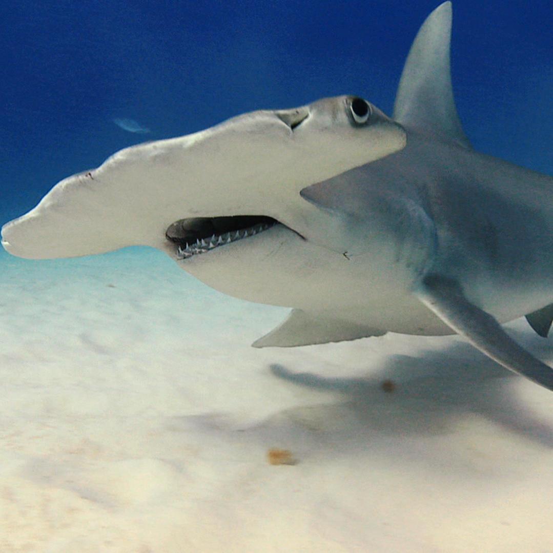 The Hammerhead: Electric Vision Shark