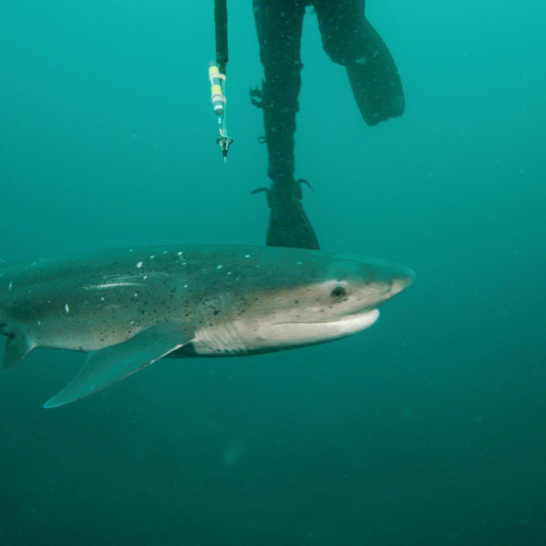 Divers Fail to Tag a Sevengill