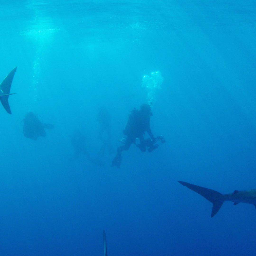 Surrounded by Silky Sharks