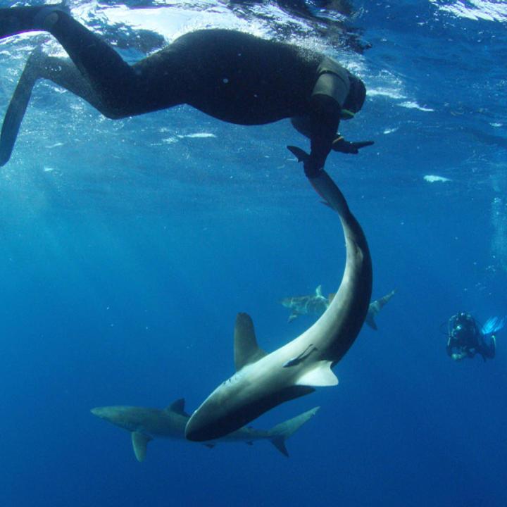 Top 5 Legendary Sharks: Slash - Shark Week | Discovery |Legendary Sharks