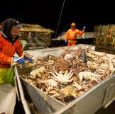 Northwestern deckhand Matt Bradley measures a crab.