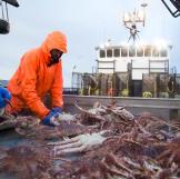 The Cape Caution crew sorts crabs.
