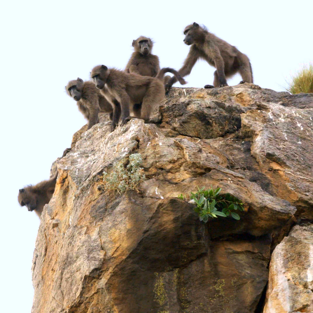 Joe and Matt Chased Down By Baboons