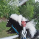 North Woods Law: New Hampshire Saved Baby Skunk