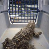North Woods Law: New Hampshire Baby Alligator in Carrier