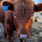 altf-cow-1308-01