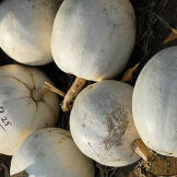 White pumpkins are actually often preferred over orange because they'r