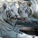 White tigers, like these shown at Nehru Zoological Park in Hyderabad in 2008, are individual specimens of the ordinary tiger (Panthera tigris), but they have a recessive gene that affects the color of the hair shaft. Like Siamese cats, white tigers have an enzyme in their fur that causes them to become darker in the cold.