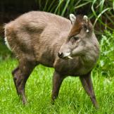 tufted-deer-strange-animals