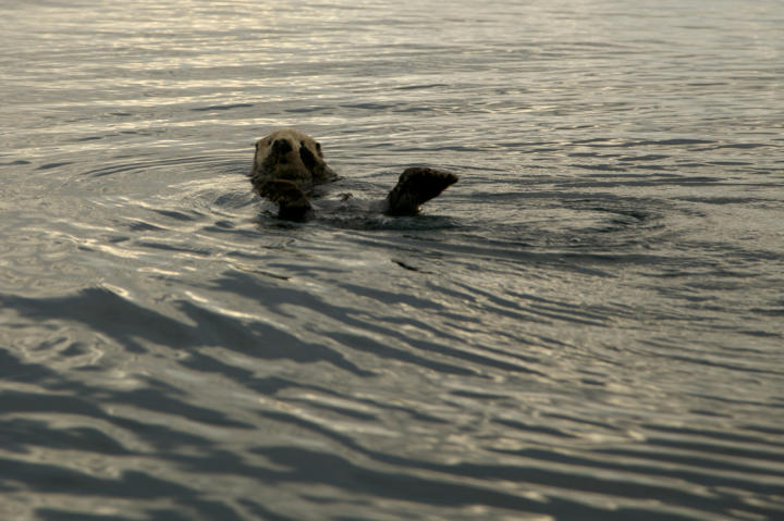 An otter frolics in the waters of Alaska.