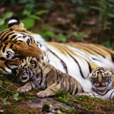 Tigers Snuggling