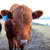 altf-cow-1308-04