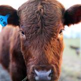 altf-cow-1308-02