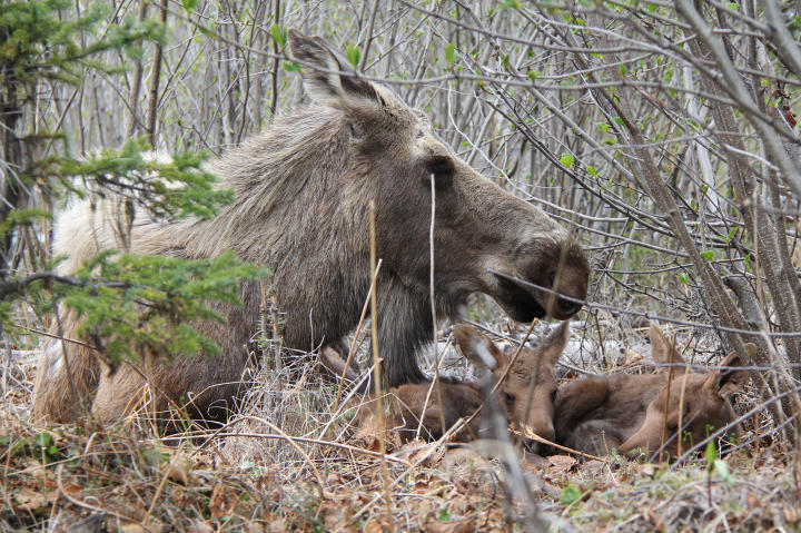 A mother moose and her offspring rest under the cover of a tree.