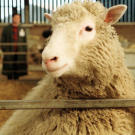 Dolly, the famous genetically cloned sheep, was seven months old when this picture was taken in 1997. She was the first animal to be genetically cloned from adult cells. Since the success with Dolly, scientists have cloned many other large animals, including bulls and horses.