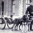 "It was not just horses and mules that were used during the First World War to transport guns and gear. Here draft dogs are at the ready to bring ""quick-firing"" guns to the frontline."