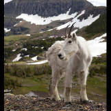 A mountain goat in Glacier National Park, Montana. Mountain goats have