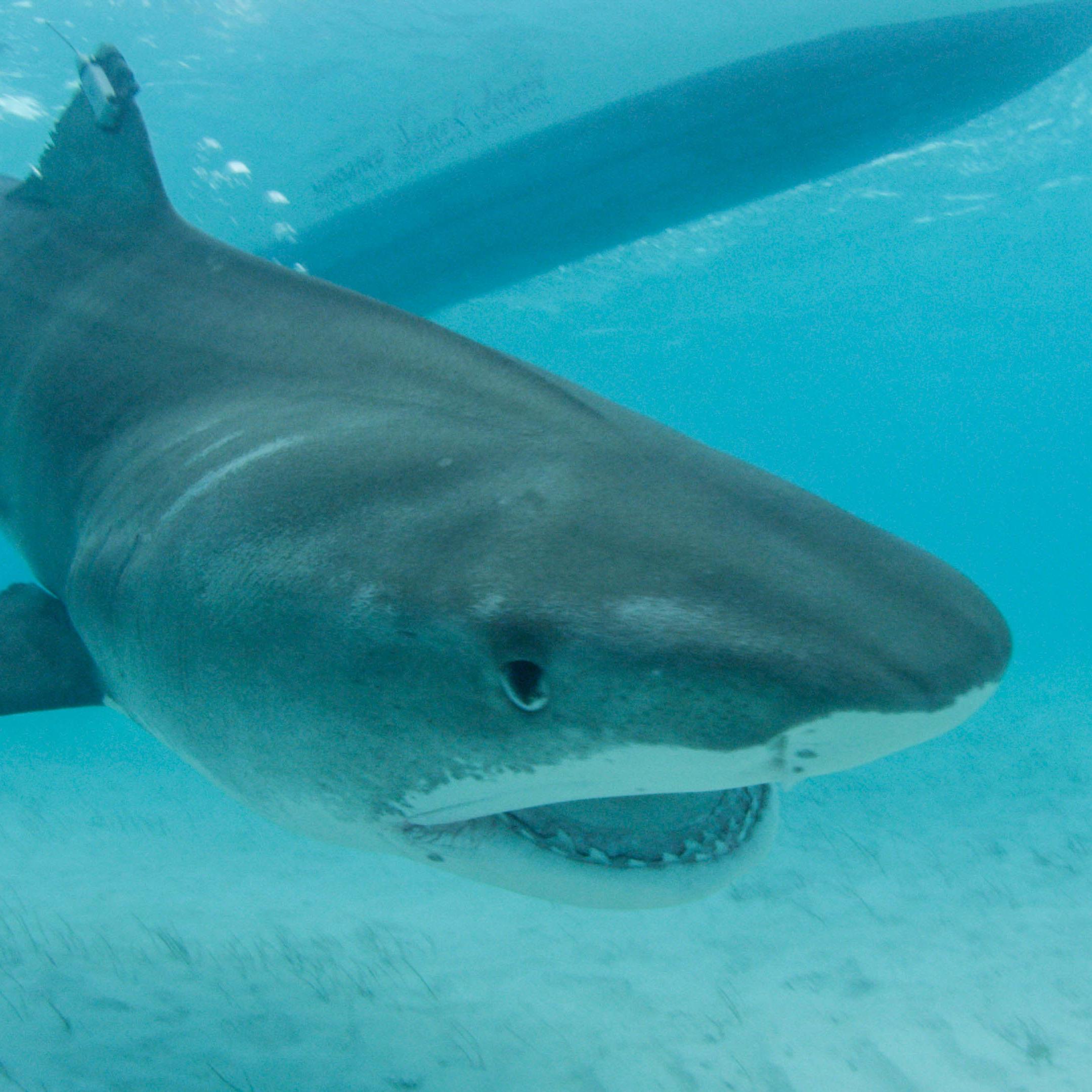Deadly Stripes: Tiger Sharks