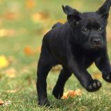 A Labrador Retriever puppy leaps through the grass.