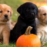 Three little Labs.