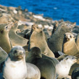 The Cape fur seals of Seal Island.   There are some 60,000 seals livin