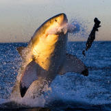 """A great white shark rejects a seal decoy during filming of """"Ultim"""