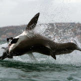 The great whites of Seal Island at False Bay, nearby Mossel Bay and Dy
