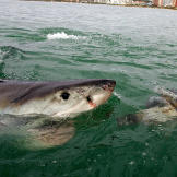 A juvenile great white takes the bait in Mossel Bay, South Africa.