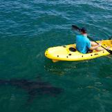 Shark expert and photographer Chris Fallows kayaks with great whites o