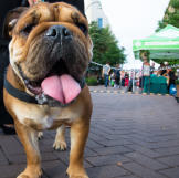 A bulldog says hello!