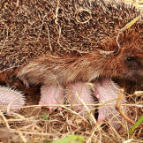 Mmall hedgehogs and their mother