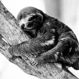 Super Cute Sloths in Black and White