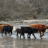 Several cattle trekking along the shoreline during the drive to the he